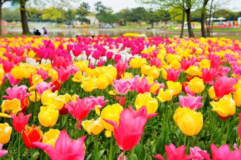 Tulip garden at Uminonakamichi Seaside Park