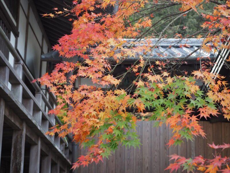 Maple tree at Komyozenji Temple