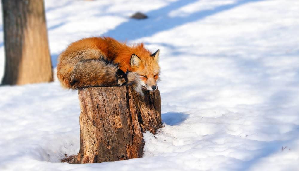 sleepy-red-fox-winter-snow-zao
